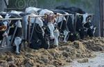 MUIR-Silage-YoungStock.JPG