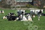 SCOTGRASS-cows0023.JPG