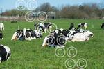 SCOTGRASS-Cows004.JPG