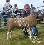 Kintyre Blue and overall sheep Jean McLachlan.jpg