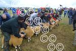 Sheep judging at Carnwath.JPG