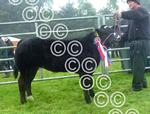 Islay cattle champion, from Neil MacDonald, Bunnahabhai