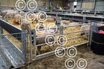 NEWTONRIGG-sheepShed-pens-.JPG