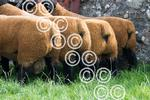 Colessie-Suffolks-Black--Rears.JPG