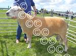 Kilmacolm AOB sheep champion.jpg