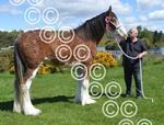 Kilmacolm Clydesdale champ.jpg